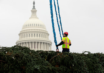 A worker helps unload the U.S. Capitol Christmas tree as it arrives on Capitol Hill in Washington