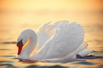 swan in the sea water, beautiful sunrise shot