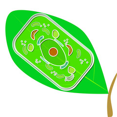 A plant cell illustration and a leaf