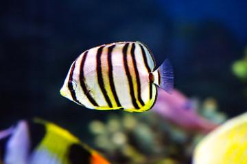 Little striped fish