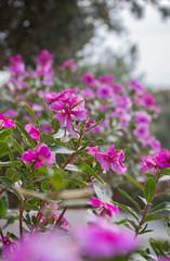Fuchsia spring flowers flowerbed.