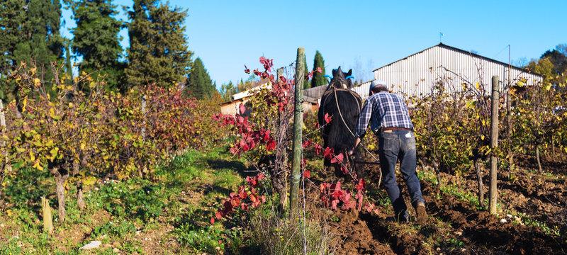 labour de la vigne avec cheval de trait