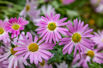 Delicate pink osteospermum flowers, with a shallow depth of field