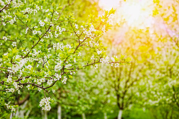 Apple garden backlit with sunlight