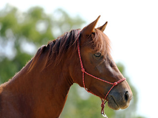 Portrait of a young horse in summer outside at rural dressage center