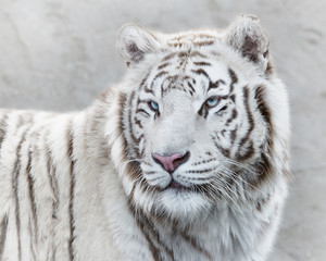 Wall Mural - Stern look of white tiger