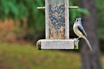 A single tufted titmouse (Baeolophus bicolor) perching on the wooden feeder enjoy eating and relaxing on the blurry background, Autumn in Georgia USA. Wall mural