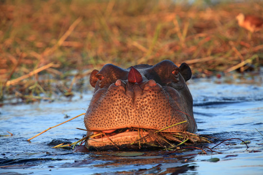 The common hippopotamus (Hippopotamus amphibius), or hippo grazing in a river with water lily leaf on the nose