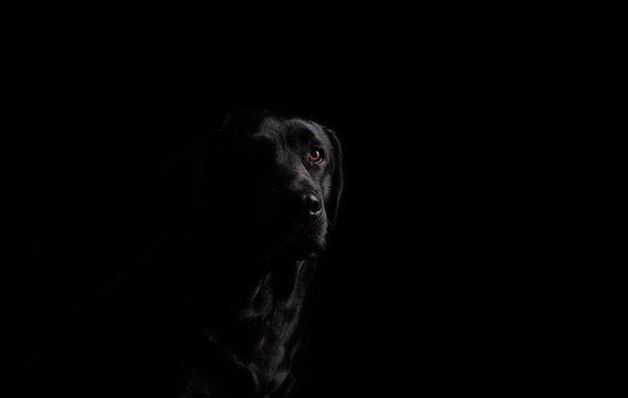 Dog. Photo Studio, black lab on a black background. Black on black