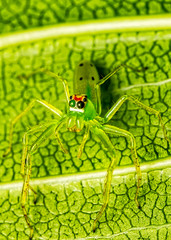 Green spider Lyssomanes sp on leaf macrophotography