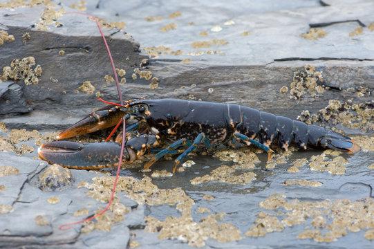 European Lobster (Homarus gammarus)/European Lobster on barnacle encrusted rock