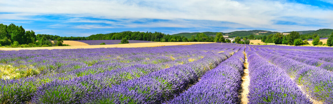 Lavender field in summer countryside,Provence,France
