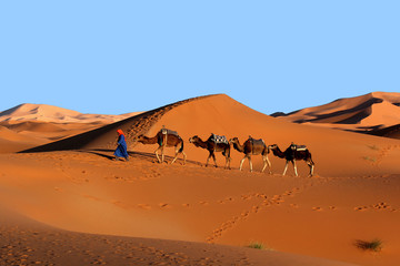 Camel caravan trekking in the Sahara desert