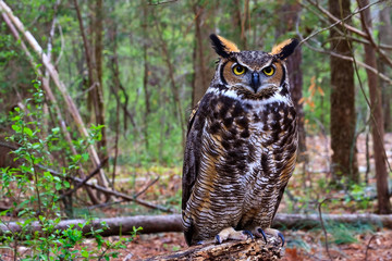 Great Horned Owl Standing on a Tree Log Fotomurales