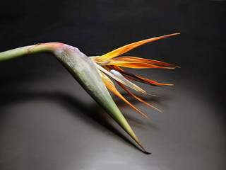 Strelitzia, Parrot flower. Vivid, colorful and tropical cut flower.