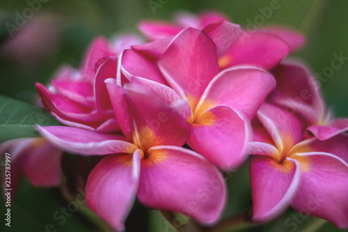 Beautiful Pink And Red Magnolia Flowers On A Branch Of Magnolia Tree