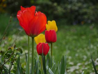 Foto op Aluminium Lente Tulipes du jardin