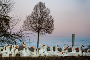 many geese on a meadow at dusk at sunset. A group of pets are standing in a fenced enclosure