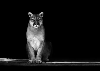 Poster Puma Portrait of Beautiful Puma, Puma in the dark. American cougar