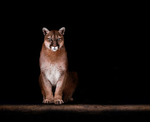 Tuinposter Puma Portrait of Beautiful Puma, Puma in the dark. American cougar