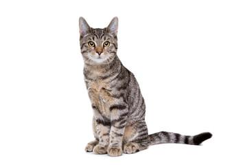 European short haired cat