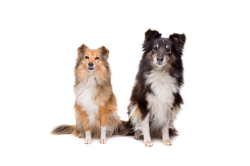 two Shetland Sheepdogs