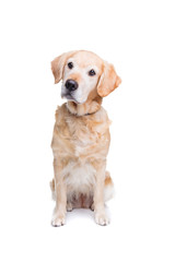 old labrador dog
