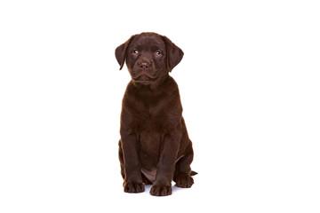 chocolate labrador puppy