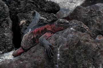 Marine Iguana on the rocky coastline of Espanola, Galapagos Islands