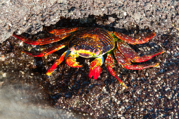 Orange Sally Lightfoot crab on the coastline of Floreana, Galapagos Islands