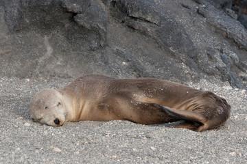 Seal on the coastline of Fernandina Island, Galapagos Islands
