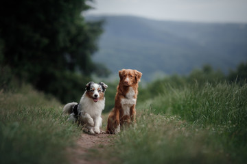 Two dogs sit on the field. Nova Scotia duck tolling Retriever and Australian shepherd together