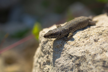 The sand lizard (Lacerta agilis) is a lacertid lizard. An old lizard resting on a rock on a Sunny day. The wise reptile, enjoy the passing life.