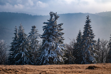 Spruce covered with thick frost