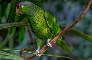 Bright Green, Blue, and Yellow Plumage on a Blue Crested Parrot Perched on a Vine