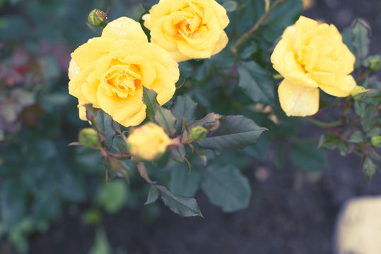 Yellow rose Bush in the garden Blooming plant blurred background selective focus Top view