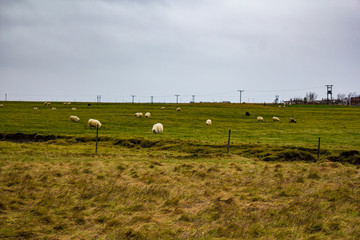 Herd of Icelandic Sheep Grazing in Farmland in the Golden Circle of Iceland