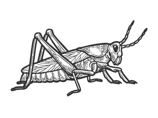 Grasshopper locust insect engraving vector illustration. Scratch board style imitation. Black and white hand drawn image.