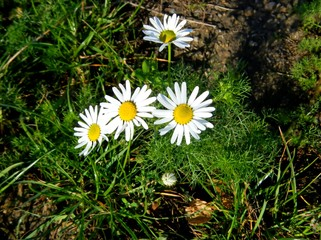 Little Daisies in Summer