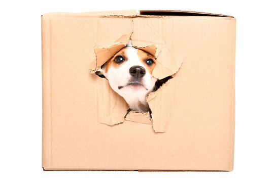 Curious dog Jack Russell Terrier looks out of a torn hole in a box