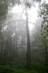 Forest with mist