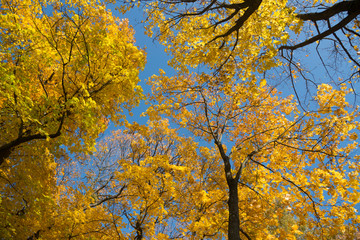 Golden crown of trees with clear blue sky
