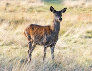 Female Deer in Parkland