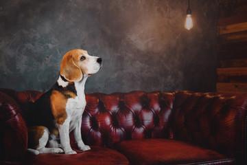 Beautiful beagle dog sitting on a dark red sofa in the loft interior