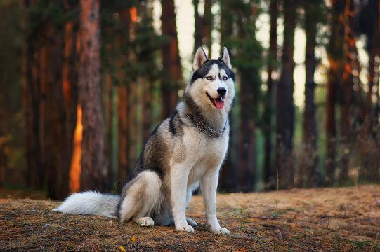 Siberian husky dog in autumn forest
