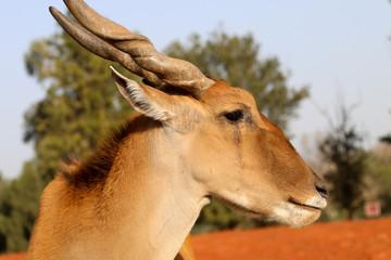 Photo sur Aluminium Animaux de Hipster antelope canna in open space