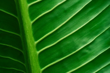 Abstract background from veins leaf in nature with sunlight. Nature backdrop.