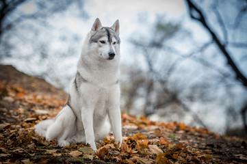 Autumn Husky