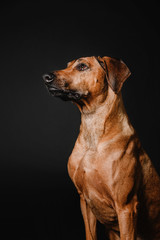 Rhodesian ridgeback dog portrait in the studio on a black background