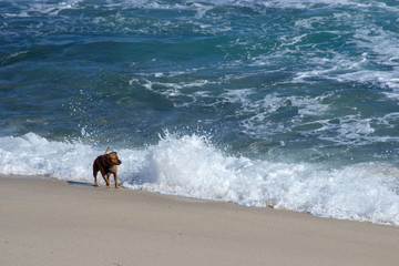 Dog playing at the beach in a sunny and windy day
